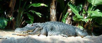сон крокодил
