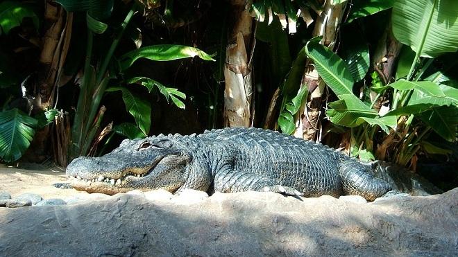 Крокодилы во сне к чему женщине снится