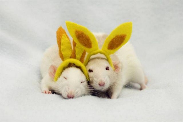 сон крысы много