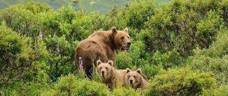 сон медведь