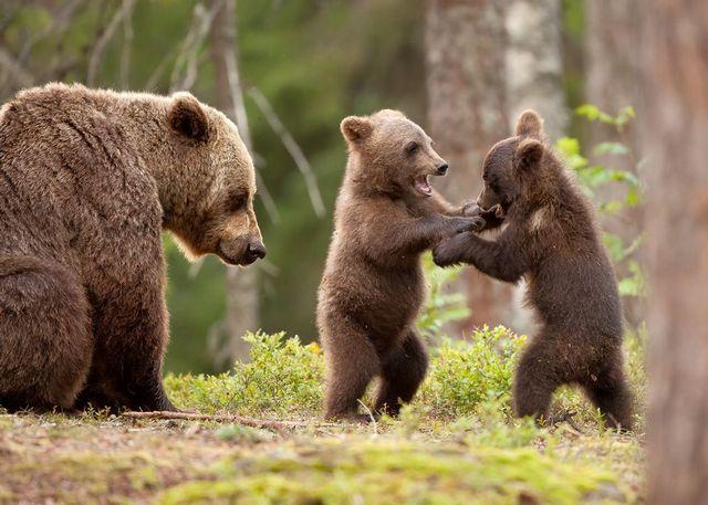 сон медведица с медвежатами