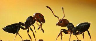 сон муравьи