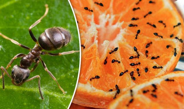 сонник муравей