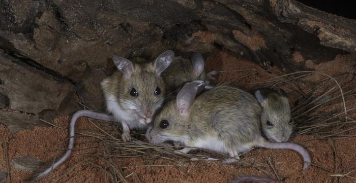 сон мыши