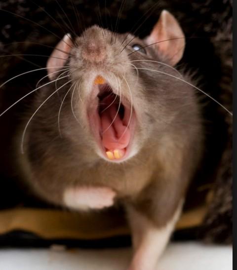 сон про больших мышей