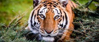 сон тигр