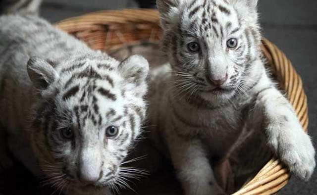сон тигрята
