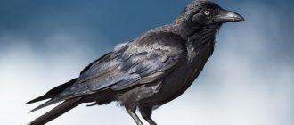 сон черный ворон