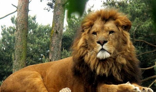 приснился лев к чему