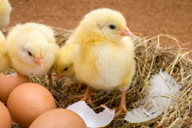 приснился цыпленок