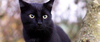 сон черная кошка