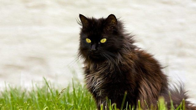 черные коты снятся