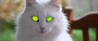 сон кот белый