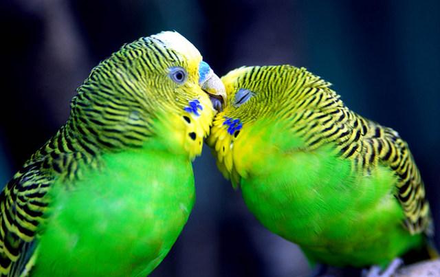 поймать попугая во сне