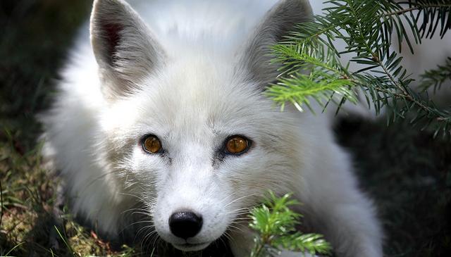 значение приснившейся лисицы