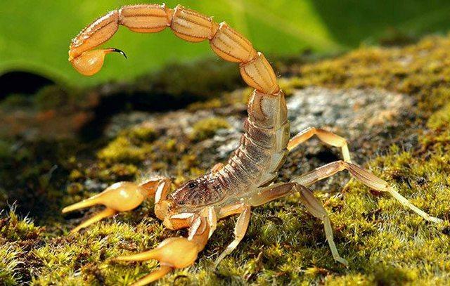 приснился скорпион