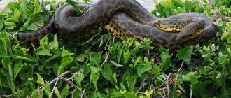 сон змея огромная