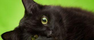 сон кот черный