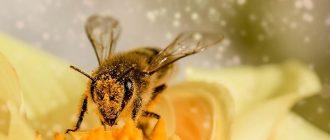 сон пчела