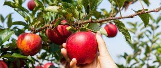 сон яблочки
