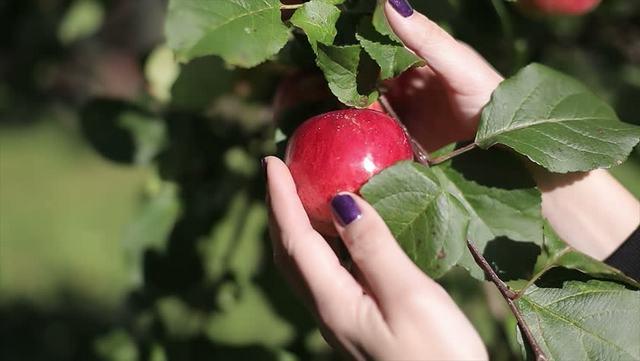 К чему снятся яблоки женщине, девушке, мужчине: красные, зеленые, желтые