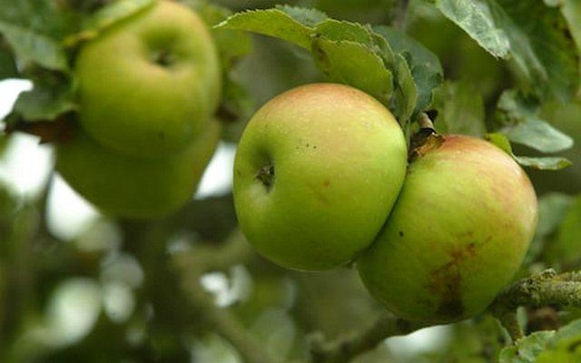 приснились яблоки