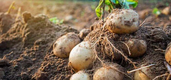 снится картошка