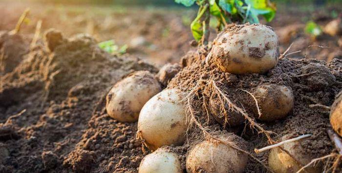 К чему снится большой картофель