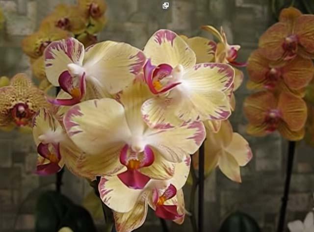 приснилась орхидея