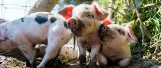 сон свинья