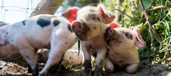 К чему снятся большие свиньи женщине по соннику