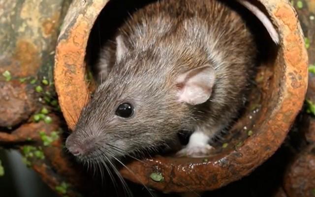 К чему снятся крысы мужчине