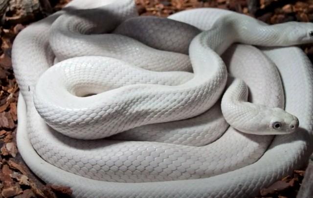К чему снится белая змея: толкование по сонникам