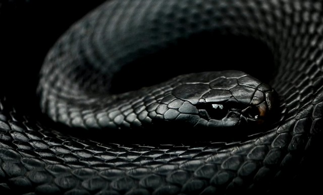 К чему снится черная змея женщине, мужчине, девушке