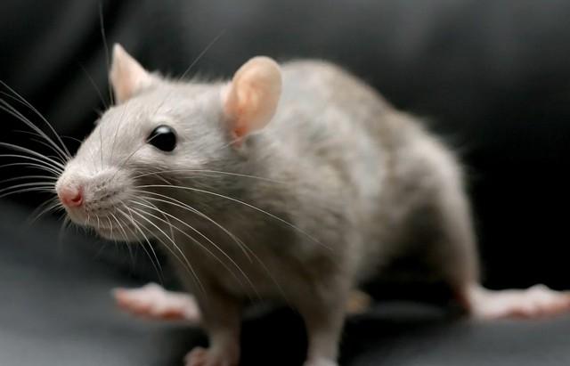 К чему снится дохлая крыса: толкование по сонникам образа мертвого грызуна