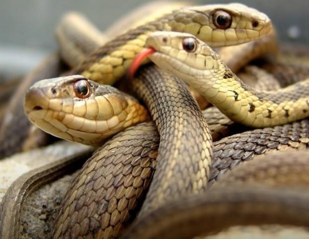 К чему снятся змеи, много змей женщине, незамужней девушке, беременной